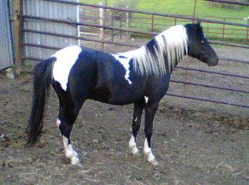 donkey breeding a shetland pony mare